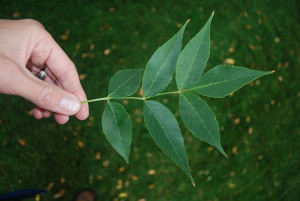Ash leaves typically have 5-9 leaflets per compound leaf