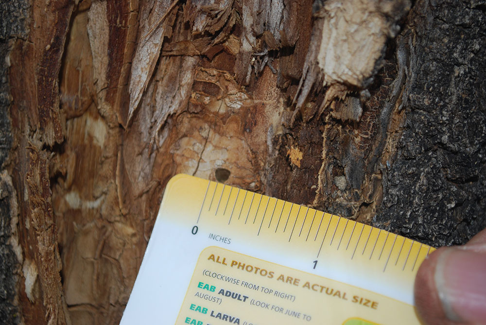 Emerald Ash Borer Facts | Be a Smart Ash