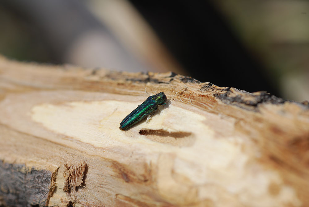 Emerald Ash Borer Discovered In Lafayette, Colorado