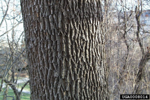 White ash tree bark with diamond pattern