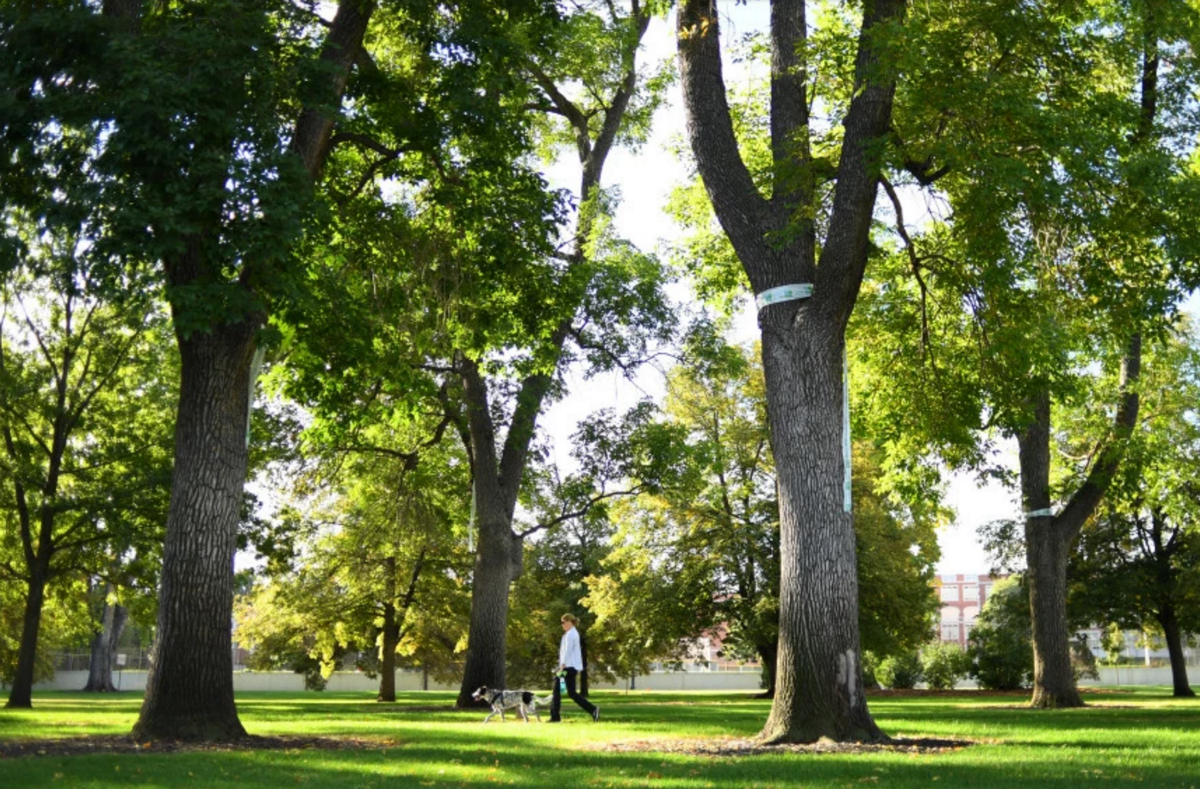 Denver Ash Trees Threatened By Emerald Ash Borer In City Park