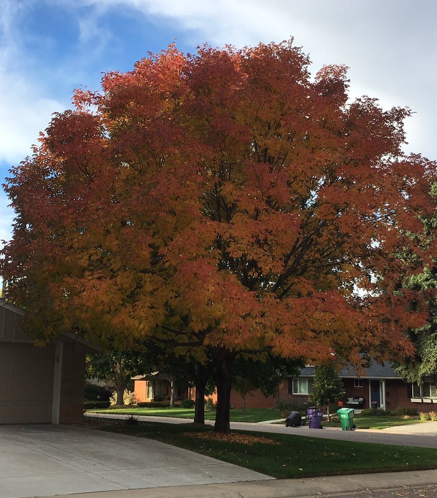 City Park Fall Color Ash Tree | Be A Smart Ash, Denver, EAB