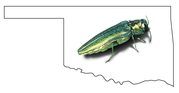 Emerald Ash Borer Discovered In Oklahoma
