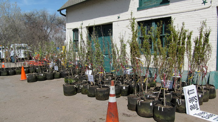 'Tis Once Again The Season For Free Trees In Denver