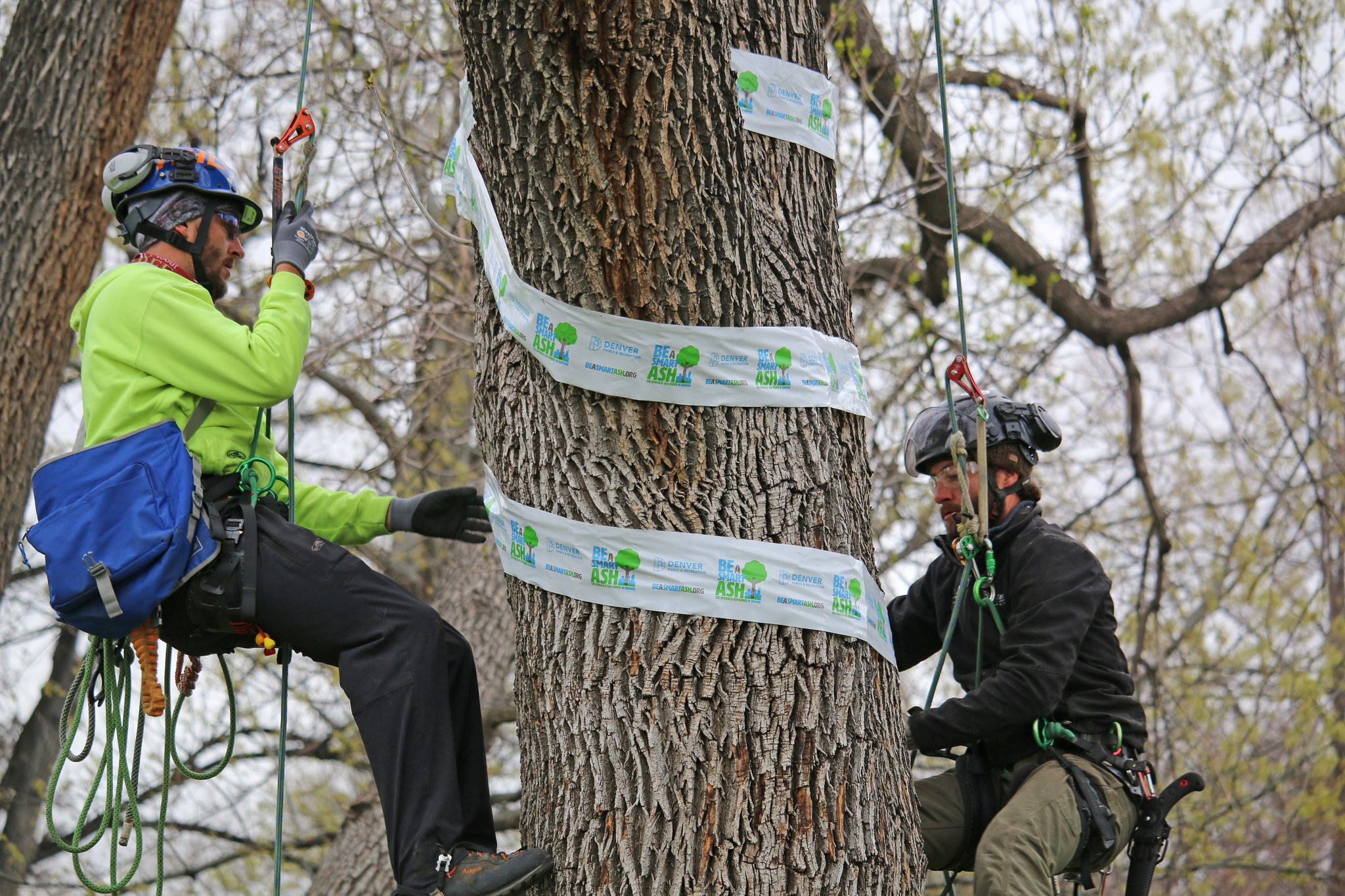 A Pair Of Certified Arborists Tend To An Ash Tree In Denver's City Park | Be A Smart Ash Denver