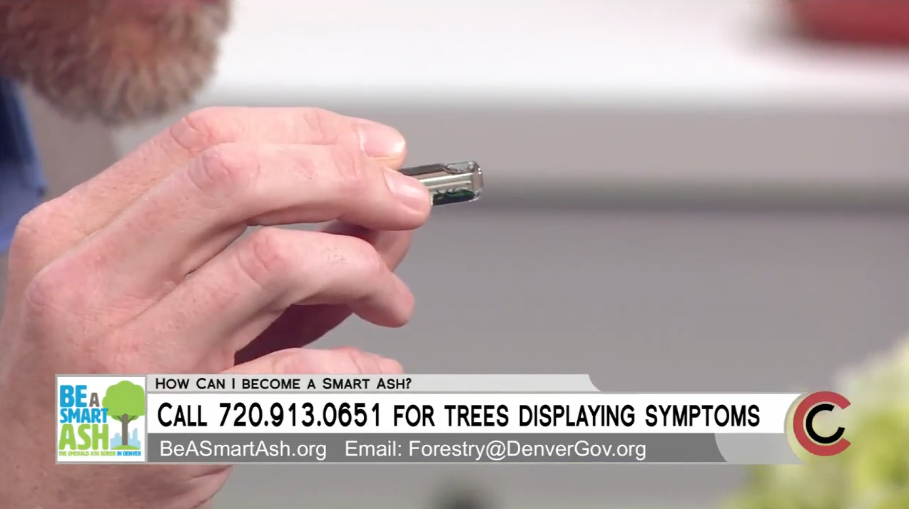 Denver City Forester Rob Davis Show An Emerald Ash Borer To 9NEWS.
