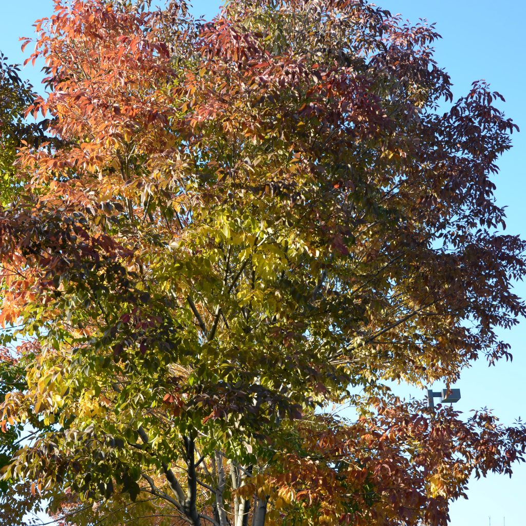 Ash Trees Begin To Turn In Denver's Wallace Park On Oct. 5, 2017.